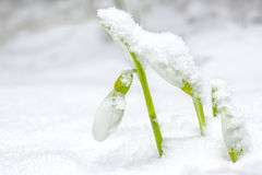 Snow Drop Royalty Free Stock Photos