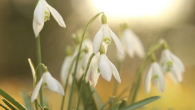 Snow drop flowers stock video footage