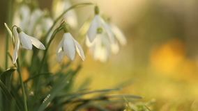 Snow drop flowers in warm morning sun light stock footage
