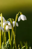 Snow drop in the grass at the day light Royalty Free Stock Photography