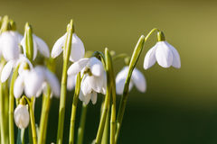 Snowdrops in the grass at the day light Royalty Free Stock Images