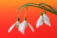 Snow-drops Royalty Free Stock Photography
