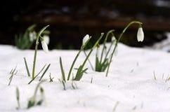 Snow Drops Royalty Free Stock Photos
