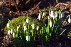 Snow drops Royalty Free Stock Images