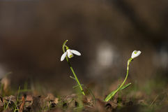 Snow drops in early spring Royalty Free Stock Images