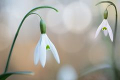 Snow drops early spring white wild flower, Galanthus nivalis. Wildflower blossom blooming during winter royalty free stock photography