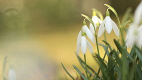 Snow drops flowers in spring stock video footage