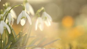 Snow drops flowers stock video footage