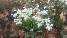 Snow drops Royalty Free Stock Photos