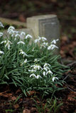 Snow drops. In spring time in a cemetery Stock Photography