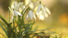 Snow drops in springtime stock footage
