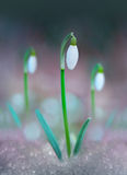 Snow drops Stock Images