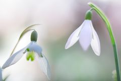 Snow drops winter white wild flower, Galanthus nivalis stock photos