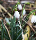 Snow Drop in woods stock images