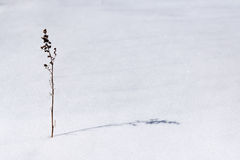 The snow is dry grass. Royalty Free Stock Image