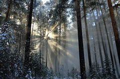 Snow dust. Sun rays shining through falling from trees the snow. In the winter forest. Stock Photography