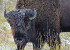 Snow-dusted Bison Royalty Free Stock Photos