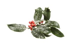 Snow dusted holly Stock Images