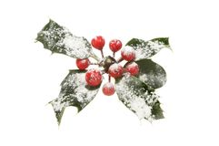 Snow dusted holly. Sprig of holly dusted with snow isolated against white Stock Photography