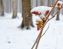 Snow early spring. First leaves. Royalty Free Stock Photos