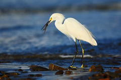 Snow Egret, Egretta thula, in the coast habitat. Heron with sun in the morning sunrise. Bird with the dark blue sea. Heron in the Royalty Free Stock Photo