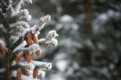 Snow on evergreen branches. With copy space Stock Image