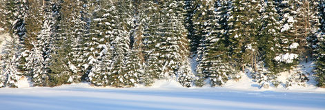 Snow on evergreen trees Royalty Free Stock Image
