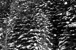 Snow on evergreen trees Stock Image