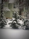 Snow on evergreens. No on evergreen trees Royalty Free Stock Photos