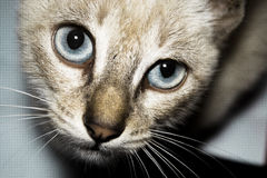 Snow eye. A withe cat with an amazing big blue eyes like the sky stock photo