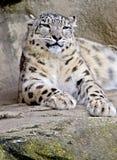 snow för 2 leopard Arkivbild