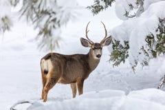snow för bockhjortmule arkivfoto