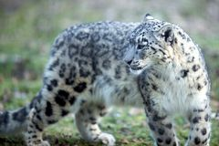 snow för des-leopardneiges Royaltyfri Foto