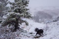 snow för svart hund Arkivfoton
