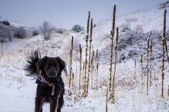snow för svart hund Arkivbild