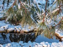 Snow fairy tale on the background of the garden pond. Long needles of the Pitsunda pine Pinus brutia are covering the picture with. A curtain. The sky is royalty free stock image