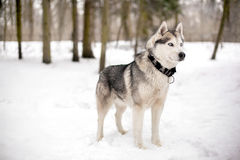 Snow and faithful huski. Cute huski with black collar is standing against of white snow with trees Royalty Free Stock Photos
