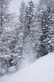 Snow fall 3. High snow powder fall from a pine tree Stock Photo