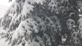 Snow fall and deposits of snow on fir tree stock video footage