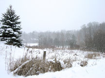 Snow Falling. A wintery scene, featuring snowfall, bullrushes, and evergreens Royalty Free Stock Photo