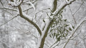 Snow falling on background of mistletoe on tree branch. Outdoors in winter covered with snow in a forest. Scenic winter video stock video footage