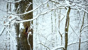 Snow falling on background of tree in forest. Snow falling on background of tree trunk in forest or park in winter stock footage