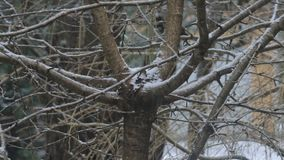 Snow on winter tree. Snow falling on bare winter tree branches stock video footage