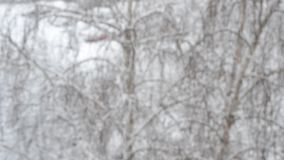 Snow falling on birch tree backdrop with dogs running in background. Close-up of slanting snow falling on backdrop of blurred leafless swaying birch tree with stock video