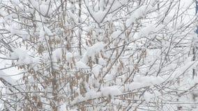 Snow falling on box elder tree branch background stock video