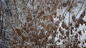 Snow falling on box elder tree branches with samaras. Snow falling on background of leafless box elder tree branches with many samara seeds on white snowy stock video footage