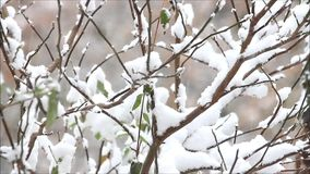 Snow falling on branches stock video