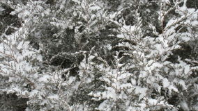 Snow Falling on a Cedar Tree stock footage
