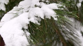 Snow Falling on a Cedar Tree. Snow-covered cedar in the winter. A beautiful green cedar snow-covered in a shot. Branches stock video