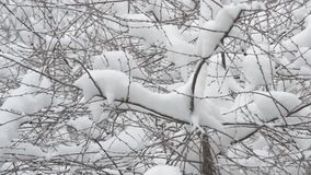 Snow falling on cherry tree branch background stock video